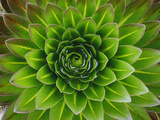 A Giant Lobelia Plant 写真プリント : ジョージ F. モブレイ