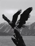 Two Bald Eagles Fight Each Other for Food Fotografisk tryk af Norbert Rosing
