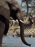 An African Elephant Drinks from a Water Hole Shared by a Herd of Plains Zebras Fotografisk trykk av Beverly Joubert