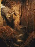 A Baby Eastern Gray Squirrel in its Nest Lámina fotográfica por Johns, Chris