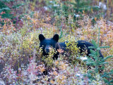 A Black Bear Looks Out of a Field While Hunting for Food Photographic Print by Taylor S. Kennedy