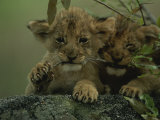 Two African Lion Cubs Chew on a Stick Photographic Print by Kim Wolhuter