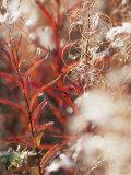 Autumn Colored Meadow Grasses in the Mackenzie River Delta Impressão fotográfica por Raymond Gehman