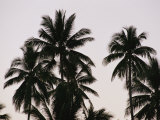 A Contrasty View of Silhouetted Palm Trees Fotografisk tryk af Wolcott Henry