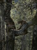 Mountain Lion Climbs up onto a Tree Limb Reproduction photographique par Jim And Jamie Dutcher