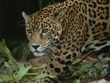 A Close View of a Captive Jaguar, Panthera Onca Fotografisk tryk af Tim Laman