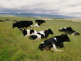 Holstein-Friesian Dairy Cows Impressão fotográfica por George F. Mobley
