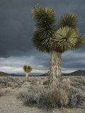 Stormy Clouds Brew over the Mojave Desert and Beaked Yucca Plants Reproduction photographique par Gordon Wiltsie