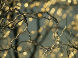 Frozen Twigs of a Corkscrew Willow Sparkle in the Sunlight Photographic Print by Raymond Gehman