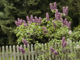 Lilac Blossoming Near a Fence Photographic Print by Anne Keiser