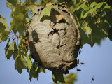 A Close View of a Very Active Wasp Nest Fotoprint van Stephen St. John