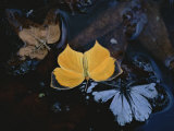 Two Migratory Butterflies Floating on the Surface of a Pool of Water Fotoprint van Annie Griffiths Belt