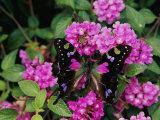 A Purple Passion Butterfly Lands on Pink Flowers Premium fotoprint van Roy Toft