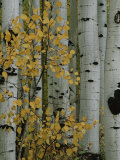 Autumn Foliage and Tree Trunks of Quaking Aspen Trees in the Crested Butte Area of Colorado Stretched Canvas Print by Marc Moritsch