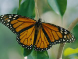 A Close View of a Intricately Patterned Monarch Butterfly Fotoprint van Joel Sartore