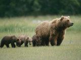 An Alaskan Brown Bear Leads Her Three Cubs Fotografisk trykk av Roy Toft
