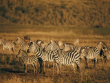 Zebras Herd in the Ngorongoro Crater Photographic Print by Emory Kristof