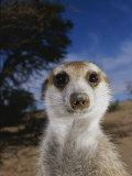 A Close View of an Adult Meerkat (Suricata Suricatta) Photographic Print by Mattias Klum
