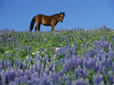 A View of a Wild Horse in a Field of Wildflowers 写真プリント : レイモンド・ゲーマン