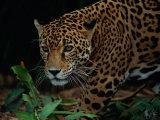 A Portrait of a Leopard (Panthera Pardus) Fotografisk tryk af Tim Laman