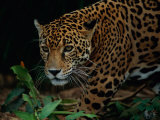 A Portrait of a Leopard (Panthera Pardus) Stampa fotografica di Tim Laman