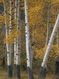 Quaking Aspen Trees in Autumn Impressão fotográfica por Norbert Rosing
