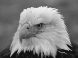 A Black and White Portrait of an American Bald Eagle Fotografisk tryk af Norbert Rosing