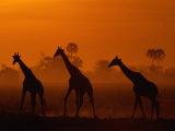 Giraffes Silhouetted at Twilight Lámina fotográfica por Beverly Joubert