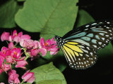 Close View of a Blue and Yellow Glassy Tiger Butterfly on a Pink Flower Premium fotoprint van Tim Laman