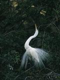 Great Egret Displays its Plumage Stampa fotografica di Klaus Nigge