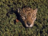 Jaguar Poking Its Head Through Plant Clogged Pool, Brazil Impressão fotográfica por Dmitri Kessel