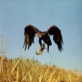 Golden Eagle Clutching a Squirrel in Its Talons Lámina fotográfica por George Silk