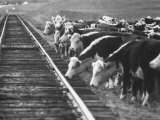 Cattle Round Up For Drive from South Dakota to Nebraska Fotografie-Druck von Grey Villet