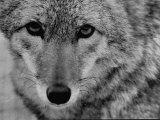 Close Up of a Coyote Reproduction photographique par Stan Wayman
