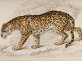 Engraving of a Jaguar from The Naturalist's Library Mammalia Lámina fotográfica