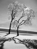 Trees in the Snow Fotografisk tryk af Alfred Eisenstaedt