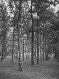 Rows of Trees Photographic Print by David Scherman