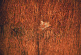 Tiger, Camouflaged Amid Tall, Golden Grass, Setting Out at Dusk For Night of Hunting Reproduction photographique par Stan Wayman