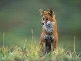 Red Fox Fotografisk tryk af Joel Sartore