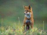 Red Fox Photographic Print by Joel Sartore