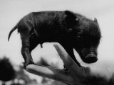 Picture of a Baby Pig in the Palm of a Mans Hand Photographic Print by Wallace Kirkland