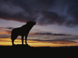 Howling Wolf Silhouetted against Sunset Sky Fotografie-Druck von Norbert Rosing