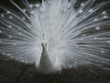 A Beautiful Albino Peacock (Pavo Species) Walks Toward the Camera Reproduction photographique par Paul Damien