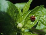 Close View of a Ladybug on a Leaf Fotoprint van Kenneth Garrett