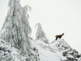 Fir Trees and Chamois in Snow, Berchtesgaden National Park, Germany Fotografisk tryk af Norbert Rosing