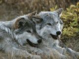 Deux loups gris, canis lupus, au repos après avoir joué avec un bâton Reproduction photographique par Jim And Jamie Dutcher