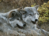 Due lupi grigi (canis lupus) si riposano giocando con un legnetto Stampa fotografica di Jim And Jamie Dutcher