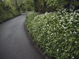 Hedges Along a Road in South Cornwall Photographic Print by Sam Abell
