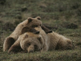 A Grizzly Mother and Her Cub Lounge Together in a Field Fotografisk trykk av Michael S. Quinton