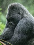 Profile of a Silverback Moutain Gorilla in the Rain Photographic Print by Michael Nichols